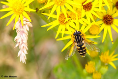 Hoverfly (raven fandango) Tags: july 2018 badgers retreat tunstall north yorkshire hoverfly hover fly yellow ragwort british bokeh canon countryside dof dales eos england english 100mm 7d mkii garden insects insect nature flower petal petals wing photography photo photos macro uk united kingdom wildlife wild wings winged