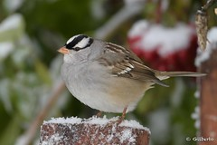 Bruant à couronne blanche - White crowned Sparrow (Gilbert Rolland) Tags: gilbertrolland whitecrownedsparrow bruantàcouronneblanche neige
