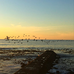 Cape cormorants sunset flight (rjmiller1807) Tags: cormorants cormorant capecormorant seabird seabirds birds bird flight sunset dusk orange blue sea ocean water atlanticocean seapoint capetown westerncape southafrica view nature scene scenery avian iphonese iphonography iphone 2018