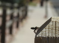 Liftoff? (Bug Eric) Tags: animals wildlife nature outdoors arachnids arachtober spiders jumpingspiders salticidae araneae arachnida coloradosprings colorado usa immature juvenile phidippus northamerica october182018