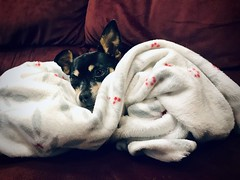 Lexi, cuddled up in a blanket this morning. (RH Francis) Tags: