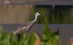 Sandhill Crane at Sauvie Island (moutdoors) Tags: sauvieisland oregon thegreatnorthwest canon sandhillcranes nature birds wildlife sturgeonlake