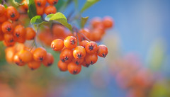Autumn Series - 10 (Dhina A) Tags: sony a7rii ilce7rm2 a7r2 a7r kaleinar mc 100mm f28 kaleinar100mmf28 5n m42 nikonf russian ussr soviet 6blades manualfocus autumn series berries bokeh
