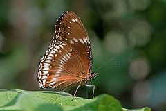 Hypolimnas bolina - the Great Eggfly (BugsAlive) Tags: butterfly mariposa papillon farfalla 蝴蝶 schmetterling бабочка conbướm ผีเสื้อ animal outdoor insects insect lepidoptera macro nature nymphalidae hypolimnasbolina greateggfly nymphalinae wildlife doisutheppuinp ดอยสุเทพ chiangmai ผีเสื้อในประเทศไทย liveinsects thailand thailandbutterflies nikon105mm bugsalive ผีเสื้อปีกไข่ใหญ่