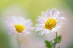 chrysanthemum 2125 (junjiaoyama) Tags: japan flower plant chrysanthemum mum pink autumn fall macro bokeh