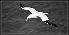 Gannet (stu.bloggs..Dont do Sundays) Tags: birds bird seabird gannet bw blackandwhite monotone sea wildlife northyorkshire bempton bemptoncliffs september 2018