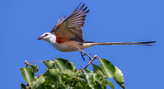 Scissor-tailed Flycatcher (Lynn Tweedie) Tags: 7dmarkii trees blue tail beak feathers bird canon sigma150600mmf563dgoshsm eye scissortailedflycatcher sky eos missouri ngc animal
