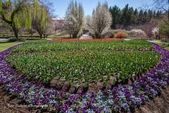 Tulip Top Gardens (Anna Calvert Photography) Tags: bulbs bywong display flowers garden landscape nature outdoors petals plants tuliptop tuliptopgardens blossoms canberra australia tulips