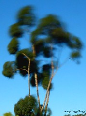 windy eucalyptus (forevertide) Tags: tree blurry blurred windy longexposurephotography blurrytree sky nature naturalblurryphoto eucalyptus eucalyptustree scenicsnotjustlandscapes
