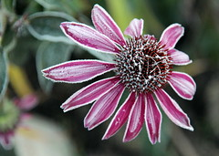 The frosty flower. (irio.jyske) Tags: flower flowerpic flowerphoto flowerphotograph flowers flowerphotos flowerphotographer nature naturephoto naturepictures naturephotograph naturephotographer naturepics naturephotos natural naturescape naturepic photographer photograph photos pic beauty beautiful nice colors autumn winter