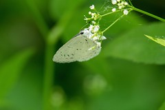 2017 Spring Azure (Celastrina ladon) (DrLensCap) Tags: spring azure celastrina ladon weber spur trail labagh woods chicago illinois abandoned union pacific railroad right way il bug insect robert kramer butterfly