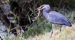 Great hunger (roland_tempels) Tags: blueheron rupelmonde belgium supershot nature bird naturereserve