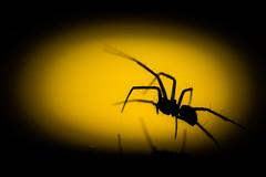 In the spotlight (pakerholm) Tags: arachnids arachnid spiders spider oxelösund södermanland sörmland tamron90mmf28 nikond610 spotlight reflection mirror spegling spegel spindel gul svart yellow black shape shadow silhouette