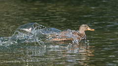 Mallard - In a hurry 501_3519.jpg (Mobile Lynn) Tags: nature birds ducks mallard anseriformes bird fauna wildlife estuaries freshwater lagoons lakes marshes ponds waterfowl webbedfeet