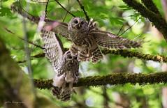 Barred Owl (Peter Bangayan) Tags: owl barredowl animals birds birdsofprey wildlife wildlifephotography canon 1dx ef500mmf4lisusm