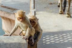 Monkeys in Mathura India (AdamCohn) Tags: adam cohn uttar pradesh india mathura vrindavan holi monkeys wwwadamcohncom adamcohn uttarpradesh