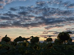 Sunflowers at Sunset (sharon'soutlook) Tags: sunflowers sunset sky clouds shadows plants flowers blue gray yellow gold mason ohio summer scene