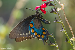 A momentary stop for nectar (Photosuze) Tags: red butterflies nectaring bugs pollination flowers flora beautiful insects pipevineswallowtails swallowtails animals nature wildlife battusphilenor