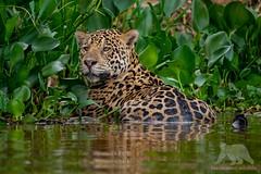 Jaguar #explored (fascinationwildlife) Tags: animal mammal wild wildlife water river green jaguar big cat predator feline elusive male raubkatze pantanal brazil brasilien south america südamerika nature natur