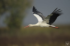 Ciconia ciconia, cicogna bianca, Cigogne blanche, white stork (Xrupex) Tags: ciconiaciconia cicognabianca cigogneblanche whitestork beautyinnature wildbirds oiseausauvage oiseaux natureimages wilderness