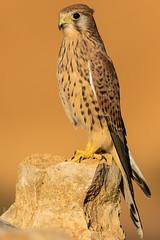 Cernícalo vulgar (Falco tinnunculus) (Elprimodeheman) Tags: cernícalovulgarfalcotinnunculus falconiformes fotografia posadero rapaces aves animales retrato lugares hide birding wildlife nature