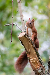 Ecureuil roux (gilbert.calatayud) Tags: ecureuil roux eurasie sciurus vulgaris sciuridés rongeurs arboricole mammifére laddo domaine des oiseaux mazères ariège occitanie squirrel ardilla