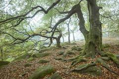 Padley Gorge (Keartona) Tags: padleygorge grindleford derbyshire peakdistrict october autumn morning spooky trees leaves mist misty beautiful ground woods woodland burbage branches england landscape