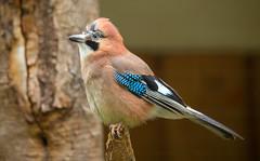 Jay / Skrækskaði (Garrulus glandarius) (thorrisig) Tags: 14052018 basel dýr fuglar garrulusglandarius jay skrækskaði swiss switzerland spörfuglar animals sigurgeirsson sigurgeirssonþorfinnur dorres thorrisig thorfinnursigurgeirsson thorri þorrisig thorfinnur þorfinnur þorri þorfinnursigurgeirsson birds bird passerinebird