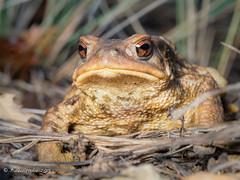 KisS me PrincesS! (Fernando Guirado) Tags: 2018 macro macrofotografia wildlife toad sapo gripau em1mk2 em1ii 60mmmacro macrophoto macrophotography olympus