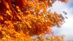 Orange maple leaves! (Maenette1) Tags: autumn mapleleaves orange yard menominee uppermichigan flicker365 allthingsmichigan absolutemichigan projectmichigan