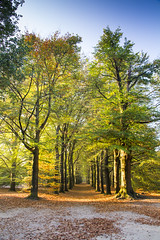 Kaapse bossen Doorn (PeterWdeK) Tags: sunday woods bos doorn utrecht nederland sunny sunlight zon bomen trees tree canon 7d herfst autumn staatsbosbeheer natuurmonumenten natuurgebied natuur nature