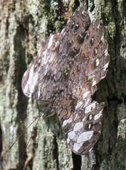 Hamadryas februa (Birdernaturalist) Tags: ageroniini biblidinae bolivia butterfly lepidoptera nymphalidae richhoyer