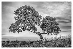 _DSC7612-Mr (gillesporlier) Tags: arbre arbres tree trees bnw nb noiretblanc blackandwhite sky ciel monochrome nikon d750 herbe herbes grass landscape paysage nuage clouds