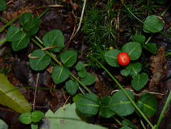 Partridge Berry (Dendroica cerulea) Tags: partridgeberry mitchellarepens mitchella rubiaceae gentianales plant berries leaves autumn eaglerockreservation essexcounty nj newjersey