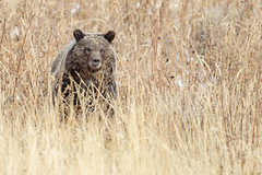 Grizzly in the Grass... (DTT67) Tags: grizzlybear grizzly bear wildlife nature canon 1dxmkii 500mm fall autumn wyoming predator animal mammal