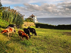 walk with cows (ekelly80) Tags: azores portugal sãomiguel ribeiradastainhas fall october2018 walk yard green grass cows evening light sunset glow goldenhour view sky clouds ocean water atlanticocean
