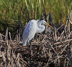 10-18-18-0038513 (Lake Worth) Tags: animal animals bird birds birdwatcher everglades southflorida feathers florida nature outdoor outdoors waterbirds wetlands wildlife wings