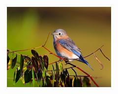 Eastern Bluebird (George McHenry Photography) Tags: birds songbirds bluebird easternbluebird southcarolinabirds southcarolina southcarolinabotanicalgarden