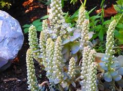 Biene an blühender Sukkulente (Sophia-Fatima) Tags: mygarden meingarten naturgarten gardening biene sukkulente