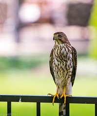 Hawk (JuanJ) Tags: nikon d850 lightroom art bokeh nature lens light landscape happy naturephotography outside people white green red black pink skyportrait location architecture building city square squareformat instagramapp shot awesome supershot beauty cute new flickr amazing photo photograph fav favorite favs picture me explore interestingness friends dof hawk animal bird fence georgetown ky kentucky august 2018