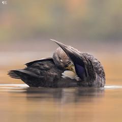 ''Intimité!'' canard noir-Ameriacan black duck (pascaleforest) Tags: oiseau bird animal duck canard passion nature nikon wild wildlife faune québec canada automne