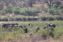 Elephant Herd on the River Bank (Rckr88) Tags: elephant herd river bank elephantherdontheriverbank elephantherd elephants herds rivers riverbank sabie sabieriver animals animal wilderness wildlife nature outdoors krugernationalpark southafrica kruger national park south africa