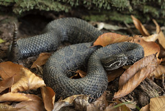 Eastern Massasauga Rattlesnake (Nick Scobel) Tags: eastern massasauga rattlesnake rattler sistrurus catenatus michigan venomous snake pit viper scales pattern coiled tongue flick scenic autmumn fall color leaves forest trees yellow