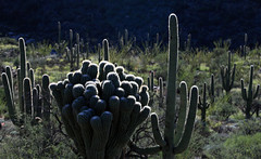 Many-Headed Saguaro:  Unusual Arizona Nature (jswensen2012) Tags: arizona rinconmountains saguarocactus cactus saguaronationalpark desert sonorandesert