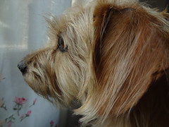 Liisa at the window (evisdotter) Tags: liisa dog pet animal macro sooc coth coth5