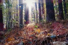 010 Sun Shot Reedy Fork Trail Greensboro, NC (cshoemaker) Tags: canon trail sun pines greensboro northcarolina outdoors landscape