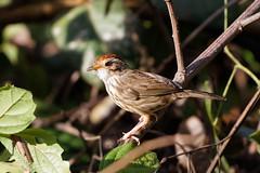 Puff-throated babbler (scubahenlik) Tags: bird babbler thailand kaengkrachan baanmaka nature