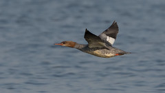 Goosander (JS_71) Tags: nature wildlife nikon photography outdoor 500mm bird new autumn see natur pose moment outside animal flickr colour poland sunshine water sea