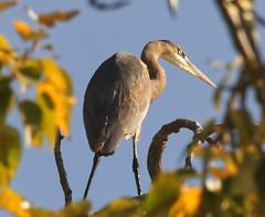 heron tree 4 (piranhabros) Tags: heron greatblueheron blueheron tree sky deltaponds eugeneoregon fiddlerontheroof ardeaherodias abwaterbirds