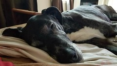 43.52.2018 - Being 12 (kmmorgan1977) Tags: 52weeksfordogs 52wfd 52wfd18 52wfd2018 kkzsapachevegasrose greatdane akcgreatdane akcdog seniordogs happybirthday birthday vegas vegasrose